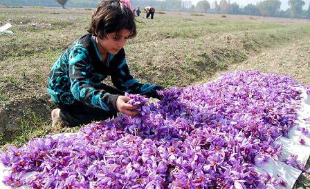 A child sorts prized saffron flowers at Pampore on Srinagar-Jammu highway. Photo credit Mubashir Khan / Greater Kashmir newspaper.