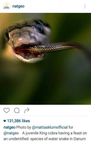 Snake eating Snake